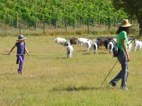 cashmere, farmer, shepherd, wwoof, wwoofing, volunteering