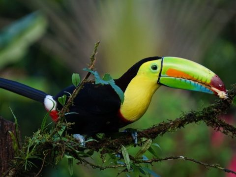 keel billed toucan, Costa Rica, volunteering projects, volunteers, voluntouring, voluntourism, exchange abroad, food and accommodation